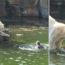 sokkolo-pillanat-jegesmedvek-tamadtak-a-nore-aki-az-allatkertben-a-medvek-medencejebe-ugrott